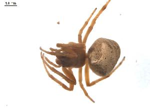 (Araneus triguttatus - BIOUG00526-F10)  @12 [ ] Copyright  G. Blagoev 2010 Unspecified