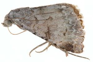 (Toxonprucha psegmapteryx - BIOUG21703-G05)  @14 [ ] CreativeCommons - Attribution Non-Commercial Share-Alike (2015) CBG Photography Group Centre for Biodiversity Genomics