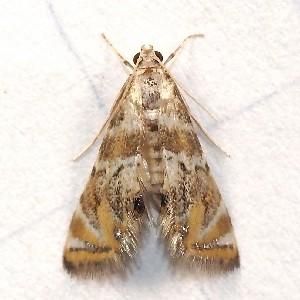 (Petrophila heppneri - BIOUG27304-B02)  @13 [ ] CreativeCommons - Attribution Non-Commercial Share-Alike (2012) Bold Photography Group Centre for Biodiversity Genomics