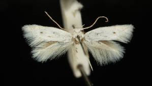 (Elachista dalmatiensis - MM16841)  @11 [ ] Copyright (2012) Marko Mutanen University of Oulu