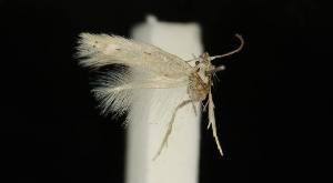 (Elachista moroccoensis - MM16868)  @13 [ ] Copyright (2012) Marko Mutanen University of Oulu