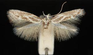 (Elachista maculosa - MM16879)  @11 [ ] Copyright (2012) Marko Mutanen University of Oulu