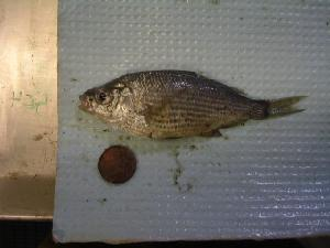 ( - TZ-06-RICKER-504)  @14 [ ] CreativeCommons - Attribution Non-Commercial Share-Alike (2007) CBG Photography Group Centre for Biodiversity Genomics