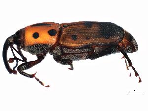 (Rhodobaenus quinquepunctatus - 10BBCOL-0057)  @15 [ ] CreativeCommons - Attribution Non-Commercial Share-Alike (2010) CBG Photography Group Centre for Biodiversity Genomics