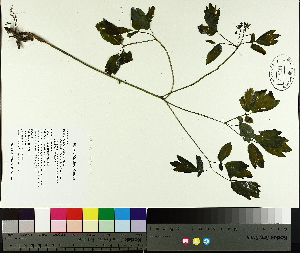 ( - TJD-021)  @11 [ ] CreativeCommons - Attribution Non-Commercial (2014) MTMG McGill University Herbarium