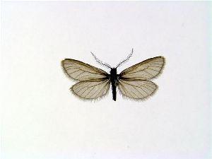 (Heterogynidae - JDF0050)  @14 [ ] Copyright (2007) Vazrick Nazari University of Guelph