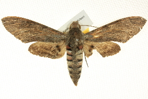 (Agrius convolvuli - BIOUG04033-B11)  @15 [ ] CreativeCommons - Attribution Non-Commercial Share-Alike (2012) CBG Photography Group Centre for Biodiversity Genomics