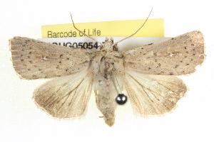 (Leucania uda - BIOUG05054-D11)  @15 [ ] CreativeCommons - Attribution Non-Commercial Share-Alike (2013) CBG Photography Group Centre for Biodiversity Genomics