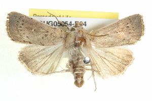 (Leucania uda - BIOUG05054-E04)  @15 [ ] CreativeCommons - Attribution Non-Commercial Share-Alike (2013) CBG Photography Group Centre for Biodiversity Genomics