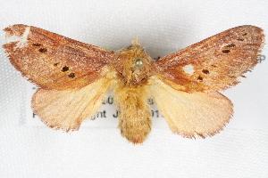 (Doratifera quadriguttata - BIOUG08996-H11)  @14 [ ] CreativeCommons - Attribution Non-Commercial Share-Alike (2013) CBG Photography Group Centre for Biodiversity Genomics