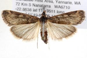 (Achyra affinitalis - BIOUG11880-C07)  @15 [ ] CreativeCommons - Attribution Non-Commercial Share-Alike (2014) CBG Photography Group Centre for Biodiversity Genomics