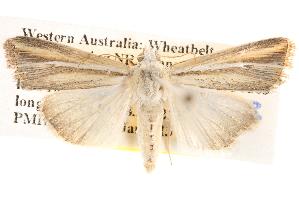 (Leucania cruegeri - BIOUG14426-G01)  @15 [ ] CreativeCommons - Attribution Non-Commercial Share-Alike (2014) CBG Photography Group Centre for Biodiversity Genomics
