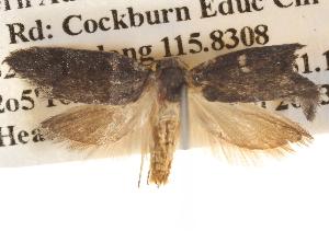 (Oenochroa sp. ANIC5 - BIOUG14611-B08)  @14 [ ] CreativeCommons - Attribution Non-Commercial Share-Alike (2014) CBG Photography Group Centre for Biodiversity Genomics