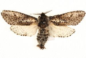 (Endoxyla bipustulatus - BIOUG18342-A04)  @15 [ ] CreativeCommons - Attribution Non-Commercial Share-Alike (2015) CBG Photography Group Centre for Biodiversity Genomics