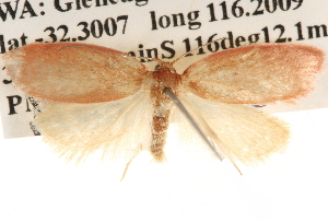 (Garrha leucerythra - BIOUG16873-D12)  @15 [ ] CreativeCommons - Attribution Non-Commercial Share-Alike (2014) CBG Photography Group Centre for Biodiversity Genomics