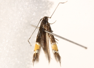 (Cosmopterix crassicervicella - BIOUG17457-D07)  @13 [ ] CreativeCommons - Attribution Non-Commercial Share-Alike (2014) CBG Photography Group Centre for Biodiversity Genomics