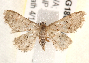 (Idaea franconiaria - BIOUG18087-A06)  @13 [ ] CreativeCommons - Attribution Non-Commercial Share-Alike (2015) CBG Photography Group Centre for Biodiversity Genomics