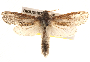 (Endoxyla sp. ANIC11 - BIOUG18347-B05)  @15 [ ] CreativeCommons - Attribution Non-Commercial Share-Alike (2015) CBG Photography Group Centre for Biodiversity Genomics