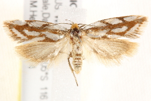 (Myrascia subductella - BIOUG19385-B12)  @13 [ ] CreativeCommons - Attribution Non-Commercial Share-Alike (2015) CBG Photography Group Centre for Biodiversity Genomics