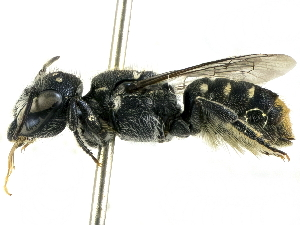 (Megachile tosticauda - CCDB-27396-C09)  @14 [ ] CreativeCommons - Attribution Non-Commercial Share-Alike (2016) CBG Photography Group Centre for Biodiversity Genomics