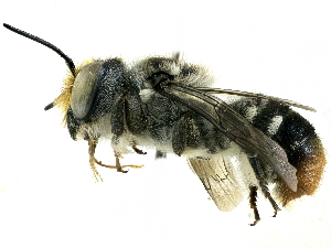 (Megachile ignita - CCDB-27396-C12)  @15 [ ] CreativeCommons - Attribution Non-Commercial Share-Alike (2016) CBG Photography Group Centre for Biodiversity Genomics