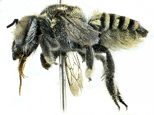 (Megachile macularis - CCDB-27396-D02)  @13 [ ] CreativeCommons - Attribution Non-Commercial Share-Alike (2016) CBG Photography Group Centre for Biodiversity Genomics