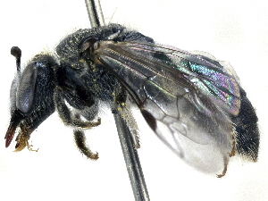 (Lasioglossum ebeneum - CCDB-27396-H08)  @11 [ ] CreativeCommons - Attribution Non-Commercial Share-Alike (2016) CBG Photography Group Centre for Biodiversity Genomics