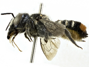 (Megachile axillaris - CCDB-27396-H11)  @11 [ ] CreativeCommons - Attribution Non-Commercial Share-Alike (2016) CBG Photography Group Centre for Biodiversity Genomics