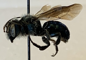 (Osmia chalybea - CCDB-32642 C02)  @11 [ ] CreativeCommons - Attribution Share-Alike (2020) Cory Sheffield Royal Saskatchewan Museum