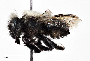 (Osmia tarsata - CCDB-20948 E02)  @14 [ ] No Rights Reserved (2015) Cory Sheffield Royal Saskatchewan Museum