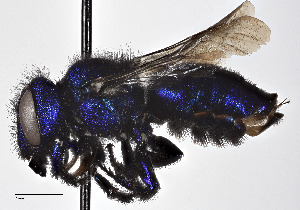 (Osmia cobaltina - CCDB-25140 C01)  @14 [ ] © (2017) Cory Sheffield Royal Saskatchewan Museum