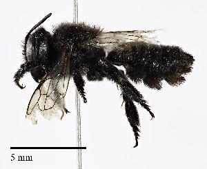 (Megachile gemula - CCDB-25169 E09)  @11 [ ] © (2018) Cory S. Sheffield Royal Saskatchewan Museum