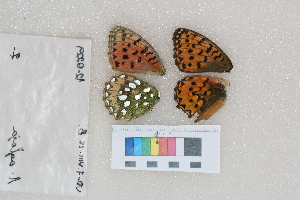 (Speyeria aglaja - RVcoll.12-Q229)  @14 [ ] Butterfly Diversity and Evolution Lab (2014) Roger Vila Institute of Evolutionary Biology
