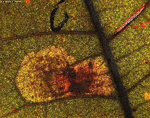 (Cameraria sp. Quercus_marilandica - RMNH.INS.29899)  @12 [ ] CreativeCommons - Attribution Non-Commercial Share-Alike  Erik J. van Nieukerken-Nauturalis Unspecified