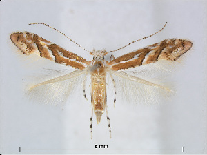 (Phyllonorycter orientalis - RMNH.5007896)  @14 [ ] CreativeCommons - Attribution Non-Commercial Share-Alike (2015) Unspecified Naturalis Biodiversity Centre