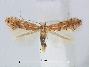 (Phyllonorycter QuercusspinosaTw - RMNH.5007899)  @14 [ ] CreativeCommons - Attribution Non-Commercial Share-Alike (2015) Unspecified Naturalis Biodiversity Centre