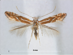 (Phyllonorycter CarpinusTaiwan - RMNH.5007900)  @14 [ ] CreativeCommons - Attribution Non-Commercial Share-Alike (2015) Unspecified Naturalis Biodiversity Centre
