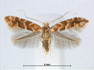 (Phyllonorycter AlnusTaiwan - RMNH.5007903)  @15 [ ] CreativeCommons - Attribution Non-Commercial Share-Alike (2015) Unspecified Naturalis Biodiversity Centre