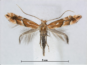 (Phyllonorycter triplacomis - RMNH.5007904)  @15 [ ] CreativeCommons - Attribution Non-Commercial Share-Alike (2015) Unspecified Naturalis Biodiversity Centre