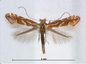 (Phyllonorycter cerasicolella - RMNH.5007906)  @15 [ ] CreativeCommons - Attribution Non-Commercial Share-Alike (2015) Unspecified Naturalis Biodiversity Centre