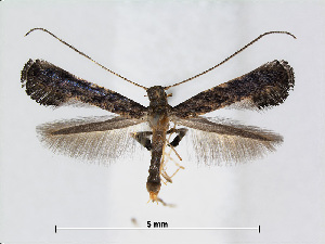 (Caloptilia callicarpae - RMNH.5007910)  @14 [ ] CreativeCommons - Attribution Non-Commercial Share-Alike (2015) Unspecified Naturalis Biodiversity Centre