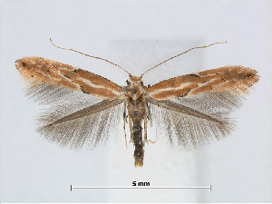 (Phyllonorycter SalixTaiwan - RMNH.5007912)  @15 [ ] CreativeCommons - Attribution Non-Commercial Share-Alike (2015) Unspecified Naturalis Biodiversity Centre