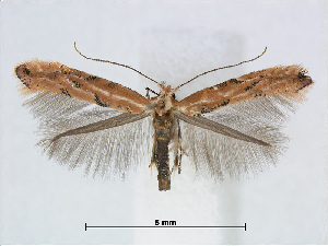 (Phyllonorycter SalixTaiwan - RMNH.5007913)  @15 [ ] CreativeCommons - Attribution Non-Commercial Share-Alike (2015) Unspecified Naturalis Biodiversity Centre
