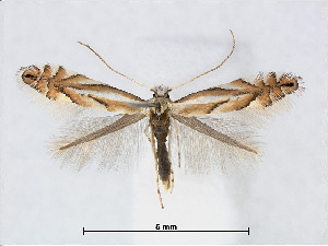(Phyllonorycter tenerella - RMNH.5007943)  @15 [ ] CreativeCommons - Attribution Non-Commercial Share-Alike (2015) Unspecified Naturalis Biodiversity Centre