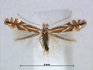 (Phyllonorycter esperella - RMNH.5007948)  @15 [ ] CreativeCommons - Attribution Non-Commercial Share-Alike (2015) Unspecified Naturalis Biodiversity Centre