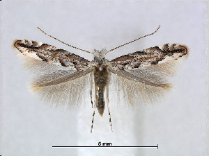 (Phyllonorycter pastorella - RMNH.5007950)  @14 [ ] CreativeCommons - Attribution Non-Commercial Share-Alike (2015) Unspecified Naturalis Biodiversity Centre