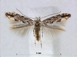 (Phyllonorycter pastorella - RMNH.5007951)  @14 [ ] CreativeCommons - Attribution Non-Commercial Share-Alike (2015) Unspecified Naturalis Biodiversity Centre