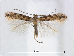 (Phyllonorycter hikosana - RMNH.5007959)  @15 [ ] CreativeCommons - Attribution Non-Commercial Share-Alike (2015) Unspecified Naturalis Biodiversity Centre