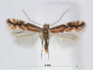 (Phyllonorycter SageretiaOman - RMNH.5007964)  @14 [ ] CreativeCommons - Attribution Non-Commercial Share-Alike (2015) Unspecified Naturalis Biodiversity Centre