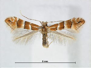 (Phyllonorycter juglandis - RMNH.5007971)  @14 [ ] CreativeCommons - Attribution Non-Commercial Share-Alike (2015) Unspecified Naturalis Biodiversity Centre